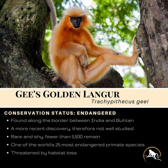 Golden Monkeys of Bhutan